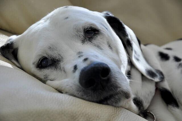 ניקוי כתמי שתן של כלבים מספות